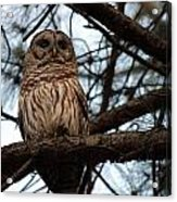 Hootie The Barred Owl A Acrylic Print