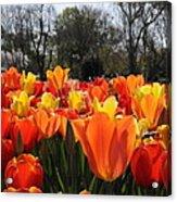 Hopping Hot Tulips Acrylic Print