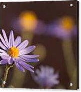 Horay Spine Aster Acrylic Print