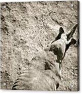 Horn Nose From Above Acrylic Print