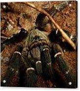 Hornback Baboon Spider Acrylic Print