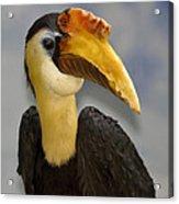 Hornbill 2 Acrylic Print