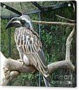 Hornbill Bird Acrylic Print