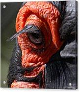Hornbill Closeup Acrylic Print