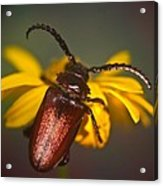 Horned Beetle Acrylic Print