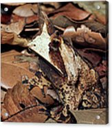 Horned Frog Camouflaged In Leaf Litter Acrylic Print