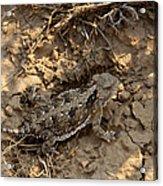 Horned Lizard   #8903 Acrylic Print