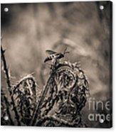Hornet And Thorn - B Acrylic Print