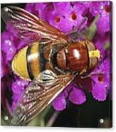 Hornet Mimic Hoverfly Acrylic Print