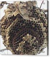 Hornet's Nest Acrylic Print by Todd Sherlock