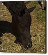 Horse 34 Acrylic Print
