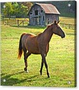Horse And Old Barn In Etowah Acrylic Print