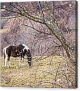 Horse And Winter Berries Acrylic Print