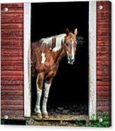Horse - Barn Door Acrylic Print