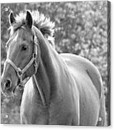 Horse Black And White Acrylic Print