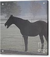 Horse Body Language  Acrylic Print