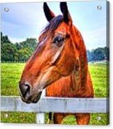 Horse Closeup Acrylic Print