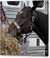 Horse Eating Hay Acrylic Print