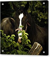 Horse Fence Acrylic Print