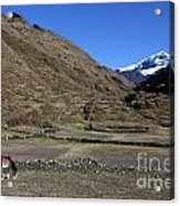 Horse Grazing In The Cordillera Apolobamba Foothills Acrylic Print