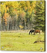 Horse Grazing In Field Autumn Maine Acrylic Print