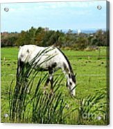 Horse Grazing In Field Acrylic Print