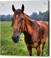 Horse In A Field Acrylic Print