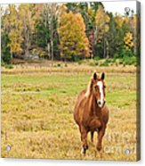 Horse In Field-fall Acrylic Print