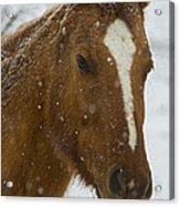 Horse In Snow   #4651 Acrylic Print