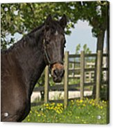 Horse In Spring Acrylic Print