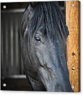 Horse In Stable Acrylic Print