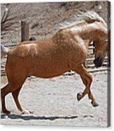 Horse Jumping Acrylic Print