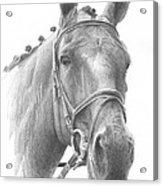 Horse Knotted Mane Pencil Portrait Acrylic Print