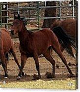 Horse Play Painting  Acrylic Print