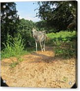 Horse Walks Toward Camera Acrylic Print