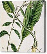 Horseradish Acrylic Print by Elizabeth Blackwell