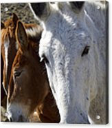 Horses And Mules   #0757 Acrylic Print