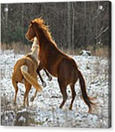 Horses At Play - 10dec5690b Acrylic Print by Paul Lyndon Phillips
