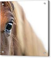 Horses Eye Acrylic Print