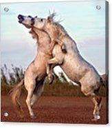 Horses Fighting Acrylic Print