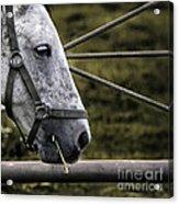 Horse's Head Acrylic Print