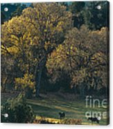 Horses In A Backlit Field With Fall Colored Trees Sedo Acrylic Print