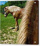 Horses In Meadow Acrylic Print