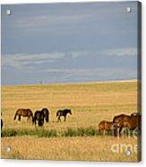 Horses In Saskatchewan Acrylic Print