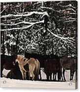Horses In Snow Acrylic Print by Tanya Jacobson-Smith