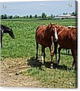 Horses In The Pasture Acrylic Print
