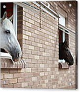 Horses Looking From The Windows Of A Acrylic Print
