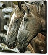 Horses Looking Through The Fence Acrylic Print