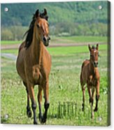 Horses Running In Summer Pasture, Mare Acrylic Print
