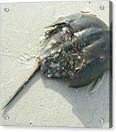 Horseshoe Crab - Limulus Polyphemus Acrylic Print